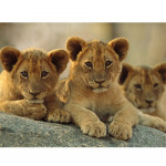 National-Geographic-Kids-Super-African-Lions-and-Lion-Cubs-3D-Puzzle-22